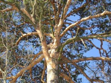 Mänty on Pulkkisten sukupuu